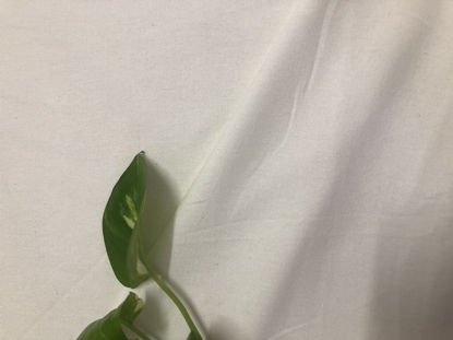 Picture of 100% Organic Cotton (power loom)